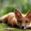Foxsimus