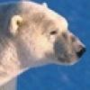 Polar_Bear